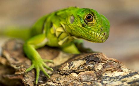 Lizard465