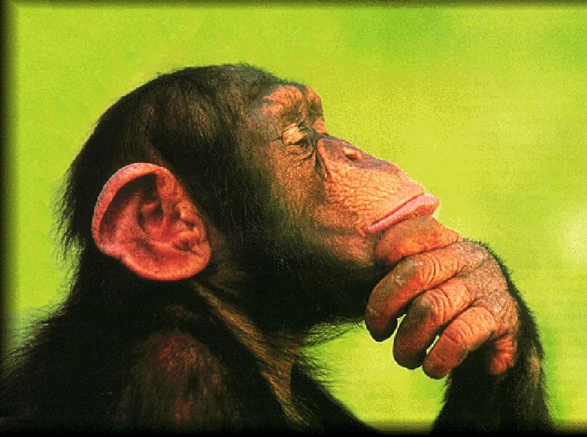 chimp-703658