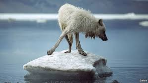 cayote-on-ice