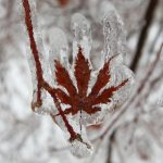 A layer of ice coats the leaf of a Japanese maple tree after an ice storm in Toronto