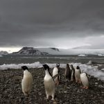 In this Jan. 27, 2015 photo, penguins walk on the shore of Bahia Almirantazgo in Antarctica.