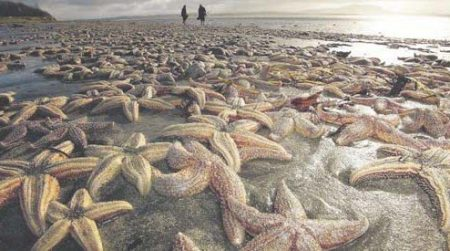 starfish die-off